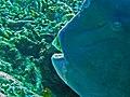 Scaridae - Bolbometopon muricatum.jpg