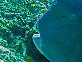 Parrotfish - The strong beak of Bolbometopon muricatum is able to grind the sturdiest corals.