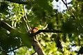 Scarlet tanager (40896660824).jpg