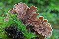 Schizophyllum commune.Mushrooms of Russia.jpg