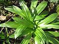 Scilla lilio-hyacinthus rosettes2.jpg