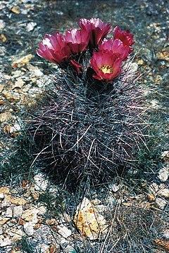 240px sclerocactus polyancistrus fh 87 1 nv b