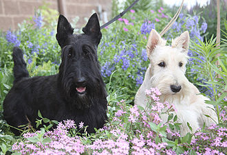 Scottish Terrier - A black and a wheaten Scottish Terrier