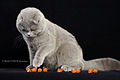 Scottish fold 02.JPG