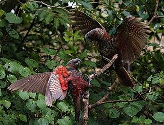 New Zealand kaka Species of bird
