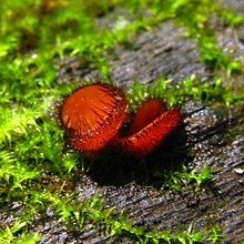 Two orangish-red colored, cup-shaped structures with dark-brown eyelashes growing on the outer rim. The two structures are sitting next to each other, growing on a piece of wood.