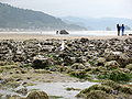 Sea-gull Near Haystack Rock.JPG