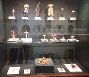 Harvard Museum of Natural History - A sample of the Blaschka Glass Sea Creatures