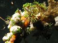 Sea Squirts and Anemones.jpg