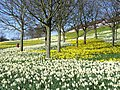 Sea of Daffodils at Kaimhill - geograph.org.uk - 400812.jpg
