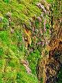 Sea pink on cliffs at Slains Castle - geograph.org.uk - 175905.jpg