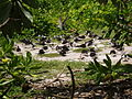 Seabirds nesting on South Brother island in the Chagos Archipelago.jpg