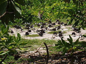 Three Brothers, Chagos - Seabirds nesting on South Brother island in the Three Brothers group