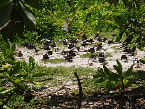 Sooty terns on South Brother Seabirds nesting on South Brother island in the Chagos Archipelago.jpg