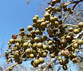 Searsia chirindensis, vrugte, Pretoria NBT, b.jpg