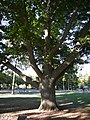 Seattle - Hiawatha Playfield - Northern Red Oak.jpg