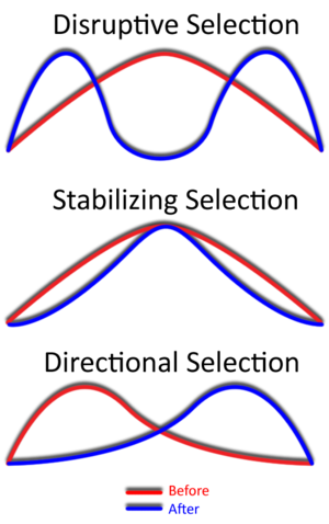 The effect of the different modes of selection on a trait (Image via Wikipedia)