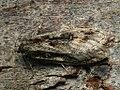 Semioscopis oculella (40856022901).jpg