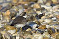 Semipalmated plover pirates cove aug 24 (20661014999).jpg