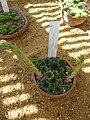 Sempervivum tectorum (Crassulaceae).JPG
