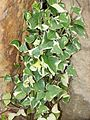 Senecio macroglossus kz1 (crop).jpg