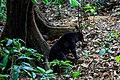 Sepilok Sabah BSBCC-photos-of-the bears-03.jpg