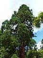 Sequoiadendron giganteum - Arboretum angers.jpg