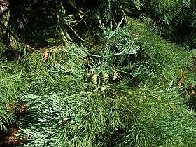 Sequoiadendron giganteum Marburg 005.jpg