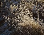 Several versions of grass with frost.jpg