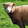 Sheep (6112278821).jpg