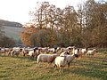 Sheep between Nettleden and Little Gaddesden - geograph.org.uk - 81106.jpg