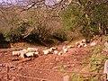 Sheltered flock - geograph.org.uk - 747619.jpg