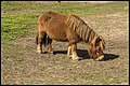Shetland Pony at riding school-1 (28857384182).jpg