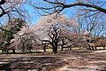Shinjuku Gyoen National Garden - sakura.JPG