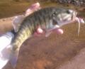 Shoal Bass (Micropterus Cataractae) Flint River, GA.png