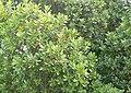 Sideroxylon inerme - Milkwood foliage - Cape Town.JPG
