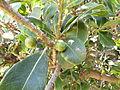 Sideroxylon inerme South African Milkwood twigs IMG 4813.JPG