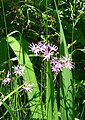 Silene flos-cuculi. Kwiat kukułki. 02.jpg