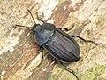 Silpha tristis (Silphidae) - (female), Oostvaardersbos, the Netherlands - 2.jpg