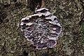 Silver Leaf - Chondrostereum purpureum (25995882618).jpg