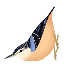 Schematic drawing of the bird clinging to a vertical support, head down