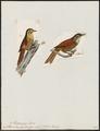 Sittasomus squamiger - 1700-1880 - Print - Iconographia Zoologica - Special Collections University of Amsterdam - UBA01 IZ19200293.tif
