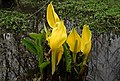 Skunk Cabbage of Lochnabo - geograph.org.uk - 1213759.jpg
