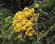Slime mould from Olympic National Park, USA (Possibly Physarum)