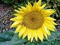 Slunečnice2.jpg