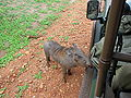 Small Warthhog getting petting - Luangwa National Park – Zambia.jpg