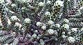 Snakey plant (7057983097).jpg