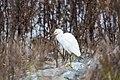 Snowy egret (30847869724).jpg