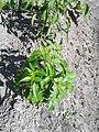 Solanales - Capsicum annuum - 12.jpg