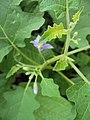 Solanum violaceum 38.JPG